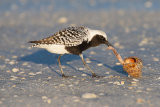 Black Bellied Plover eating a cockle