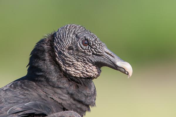 Black Headed Vulture