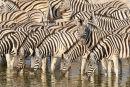 Burchells Zebra at Okaukuejo waterhole, Etosha