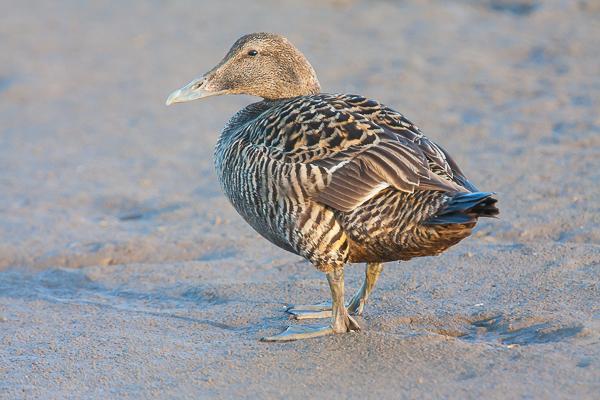 Female Eider Duck