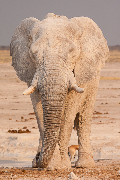 Young elephant at the Nebrownii waterhole