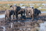Elephant herd in a mud wallow