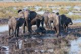 Elephant herd in a mud wallow