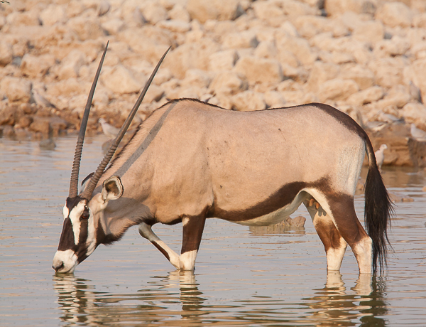 Male Gemsbok (Oryx)