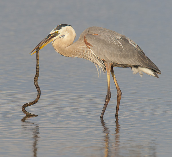 Great Blue Heron with Brown Water Snake
