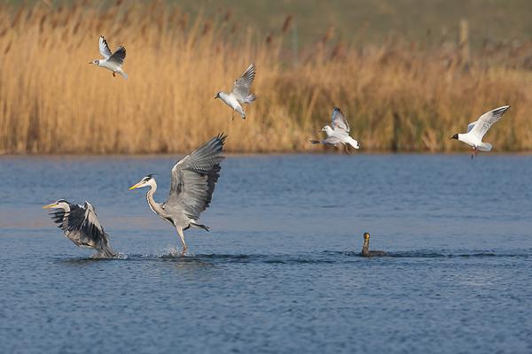 Cormorant, Grey Herons and Gulls