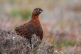 Red Grouse on the Yorkshire Moors