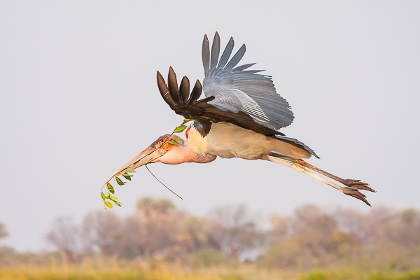 Marabou Stork with nesting material
