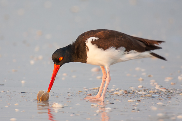 North American Oystercatcher