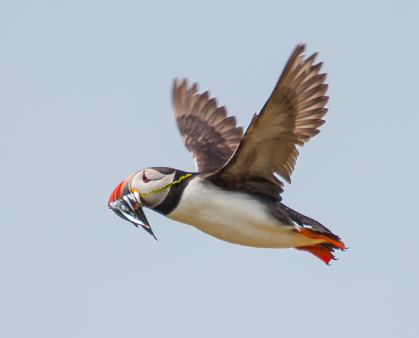 North Atlantic Puffin with sandeels
