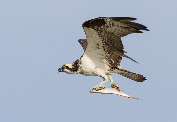North American Osprey with fish