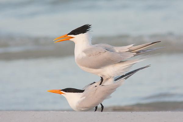 Royal Terns mating
