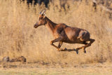 Tsessebe in flight