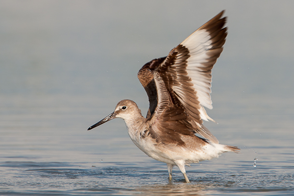 North American Willet