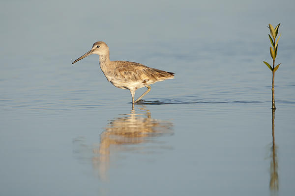 North American Willet and mangrove shoot