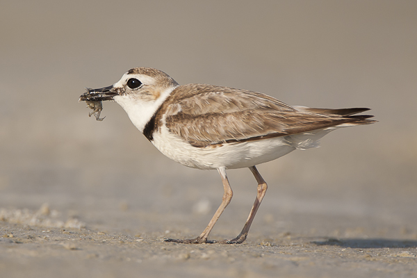 Wilson's Plover with fiddler crab