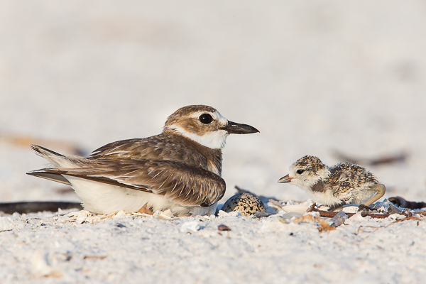 Wilson's Plover with Chick