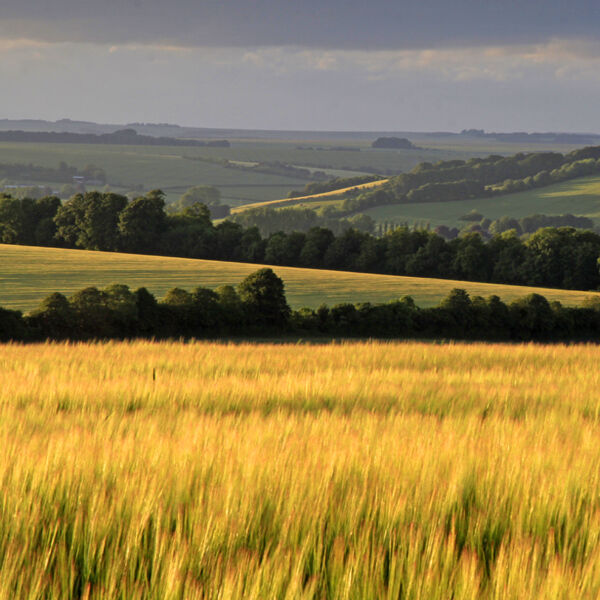 Barley fields, Stockton Down