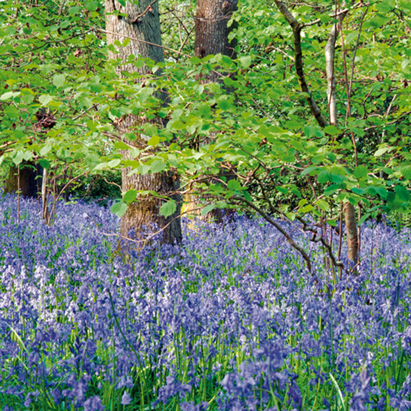 Bluebell wood, Chicksgrove