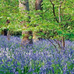 Bluebell wood, Chicksgrove
