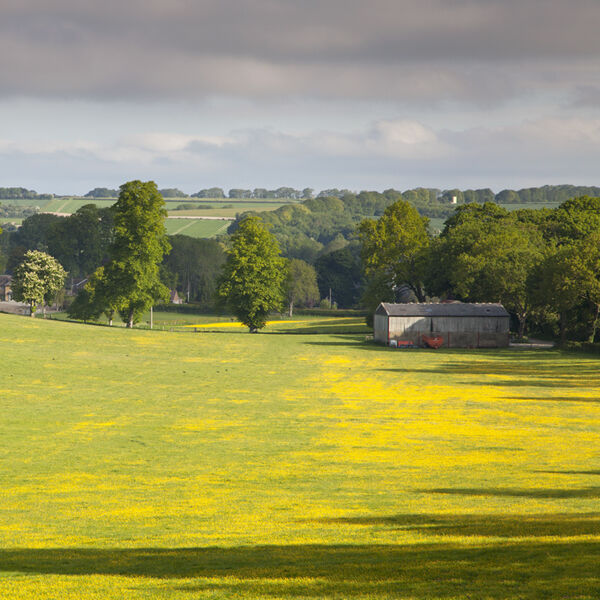 Buttercups at Church Bottom, Broad Chalke
