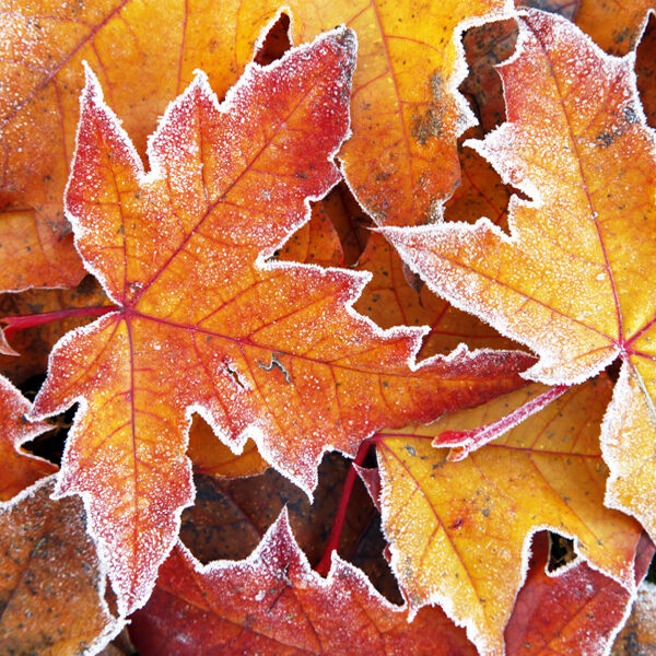Frosted liquidambar leaves