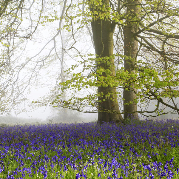Bluebells and Beech Tree, Grovely Wood