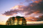 Beech Clump at Sunset