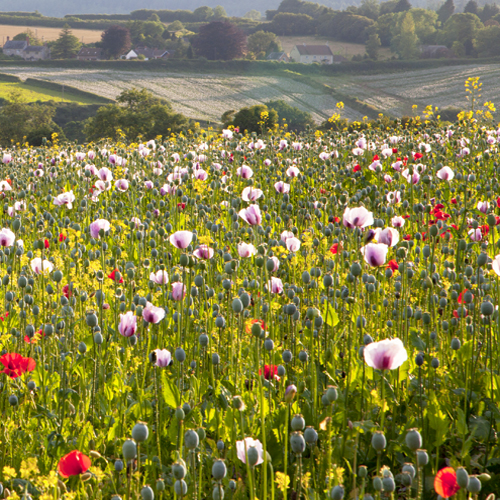 Poppy fields, Tisbury