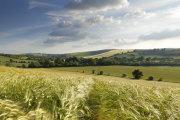 Barley fields, Brixton Deverill