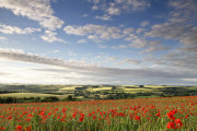Langford Poppies