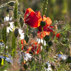 Poppies and ox-eye daisies