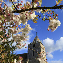 Cherry blossom, Steeple Langford