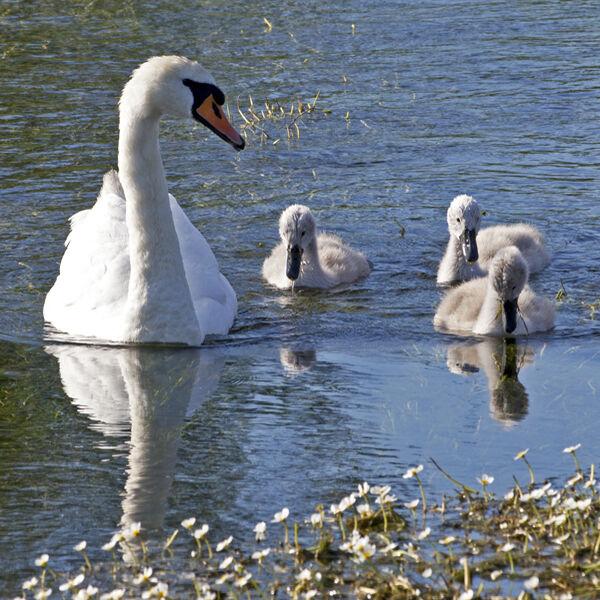 Swan and cygnets