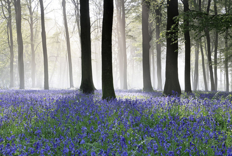 Bluebells and Mist