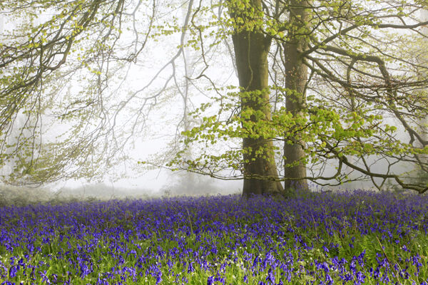 Bluebells and Beech Tree