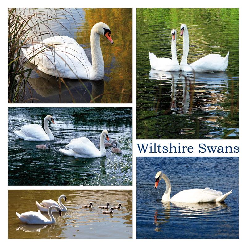 Wiltshire Swans