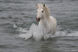 Camargue White Horses (10 of 15)