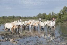 Camargue White Horses (12 of 15)