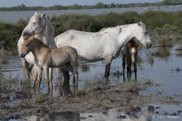 Camargue White Horses (13 of 15)