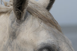 Camargue White Horses (1 of 15)