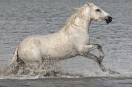 Camargue White Horses (2 of 15)