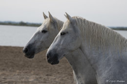 Camargue White Horses (3 of 15)