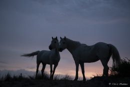 Camargue White Horses (5 of 15)