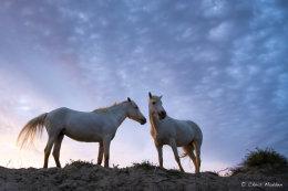 Camargue White Horses (6 of 15)