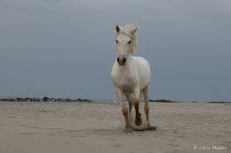 Camargue White Horses (9 of 15)