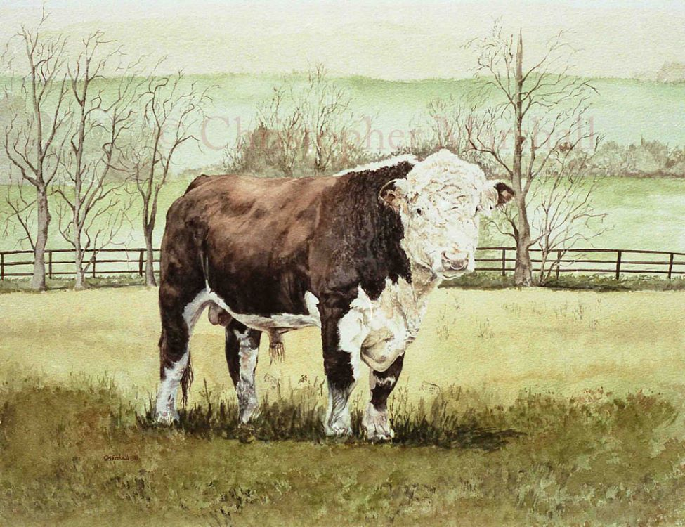 CHB - Hereford Bull