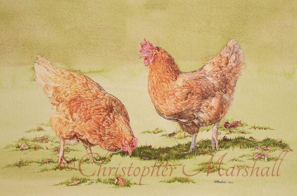 CKS - Chickens