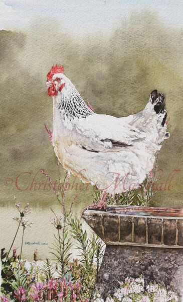 CLS - Light Sussex Hen