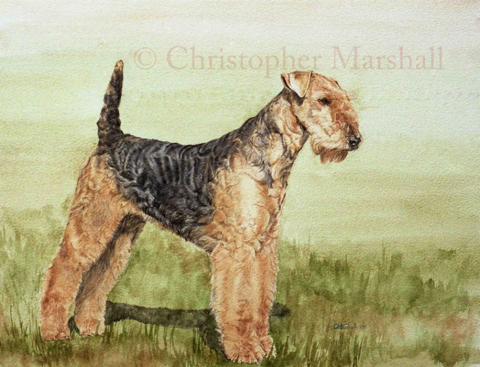 DAT - Airedale Terrier